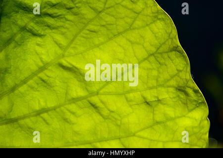Die Hintergrundbeleuchtung Venen eine enorme Seerose Blattes in einem Feuchtgebiet, fangen die Sonne für die Photosynthese. - Stockfoto