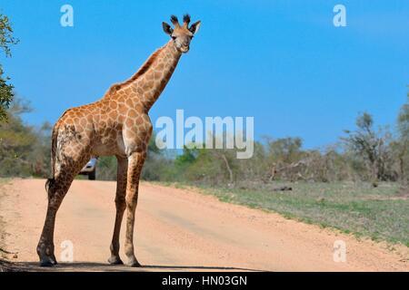 South African Giraffe (Giraffa Giraffa Giraffa), jung, stehend auf unbefestigten Straße vor ein Auto, Krüger Nationalpark, Südafrika, Afrika