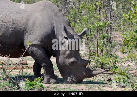 Breitmaulnashorn oder Square-lippige Rhinoceros (Ceratotherium Simum), Weiden, Krüger Nationalpark, Südafrika, Afrika - Stockfoto
