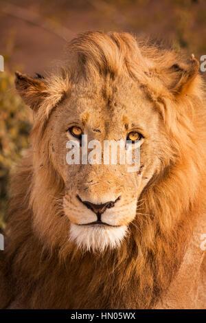Nahaufnahme eines männlichen Löwen im morgendlichen Sonnenlicht im Krüger Nationalpark, Südafrika. Stockfoto