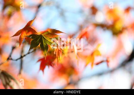 atemberaubende Herbstlaub ändern Farbe, blauer Himmel und Sonnenschein Jane Ann Butler Fotografie JABP1826 - Stockfoto