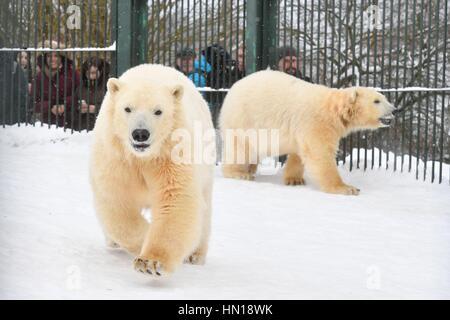 17. Januar 2017. -Russland, Moskau, Sychevo Dorf. -Eisbären Bely und Sery im Moskauer Zoo Center für seltene Tierarten - Stockfoto