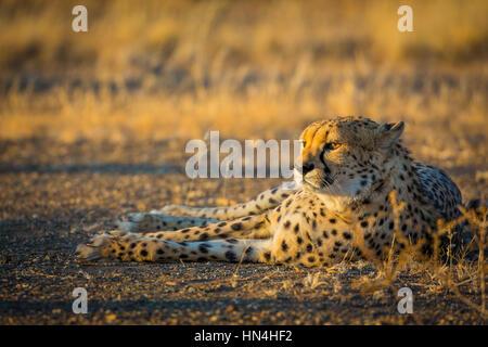 Der Gepard (Acinonyx Jubatus), auch bekannt als der Jagd Leopard, ist eine große Katze, die auftritt, vor allem - Stockfoto