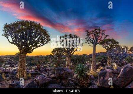 Der Köcherbaumwald (Kokerboom Woud in Afrikaans) ist ein Wald und touristische Attraktion der Süden Namibias. - Stockfoto