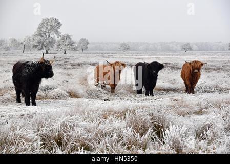 Schwarze und rote behaarte schottische Hochlandrinder in einer natürlichen Winterlandschaft - Stockfoto