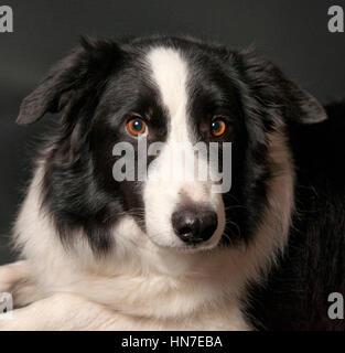 Border-Collie Hund, Porträt, Blick in die Kamera - Stockfoto