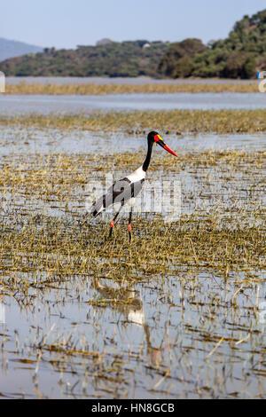 Ein Sattel – abgerechnet Storch (Nahrung Senegalensis), Lake Ziway, Äthiopien - Stockfoto
