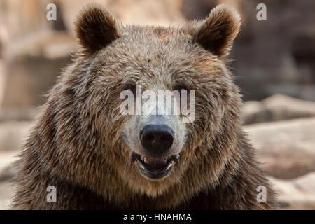 Eurasische Braunbären (Ursus Arctos Arctos), auch bekannt als der Europäische Braunbär. - Stockfoto
