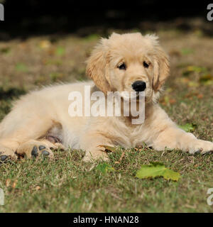 Golden Retriever Welpe - Stockfoto