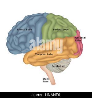 Die Anatomie des Gehirns. menschliche Gehirn laterale Ansicht. Abbildung auf weißem Hintergrund. - Stockfoto
