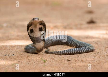Indische Kobra oder Spectacled Cobra, Naja Naja, Sri Lanka - Stockfoto