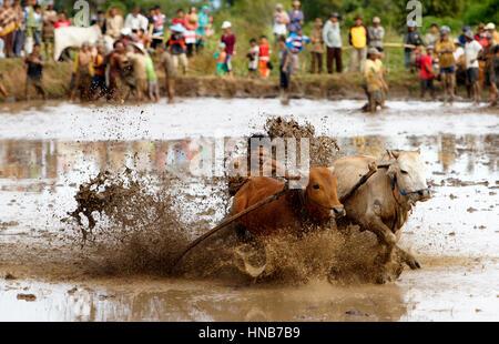 Schlamm-Kuh racing Pacu Jawi tagsüber in Indonesien. - Stockfoto