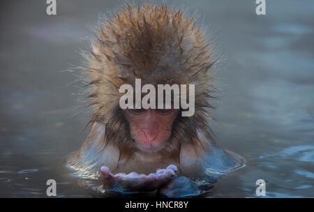 Affe in einem natürlichen Onsen (heiße Quelle), befindet sich im Affenpark Jigokudani, Nagono Präfektur, Japan. - Stockfoto