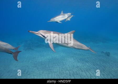 Hawaiian Spinner-Delfine oder Grays Spinner-Delfine, Stenella Longirostris Longirostris, mit Kalb aus Ho'okena Beach, - Stockfoto