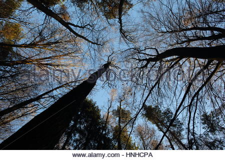 Baumkronen bei Sonnenuntergang und Baum Stämme racing nach oben in einem Wald in Deutschland - Stockfoto