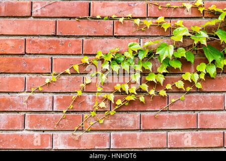 Grünen Efeu auf Ziegel Wand Hintergrund Stockfoto