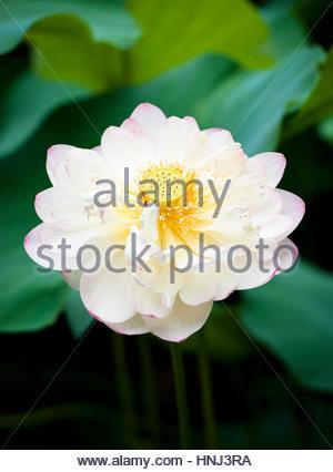 Nahaufnahme von Lotus Seerose - Stockfoto