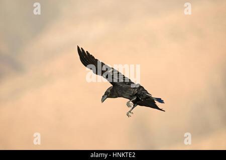 Kanarischen Inseln Raven - Corvus Corax tingitanus - Stockfoto