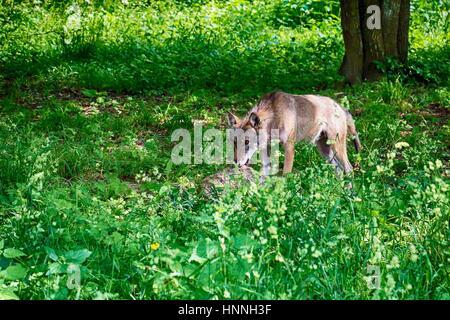 Grauer Wolf im Białowieża-Nationalpark - Stockfoto