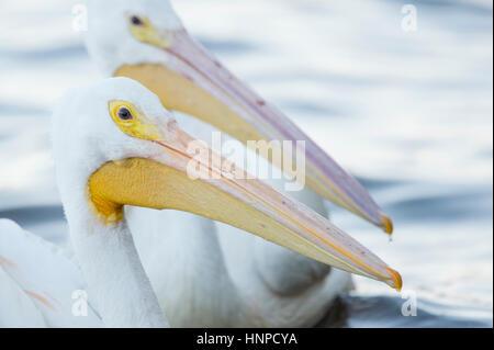 Ein paar weiße Pelikane schweben im Wasser in weiches Licht zeigen den großen gelben und rosa Schnabel. - Stockfoto