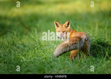 Rotfuchs Blick hinter grünen Gras mit schönen Schweif vor - Stockfoto