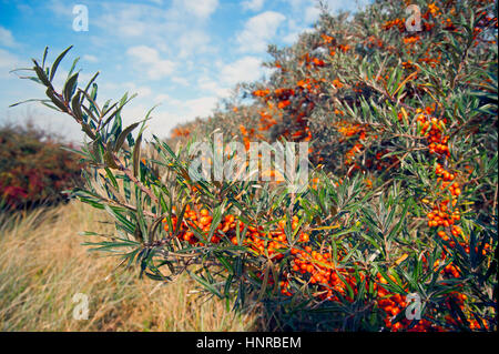 Sanddorn (Hippophae) in voller Berry. Lincolnshire coast - Stockfoto