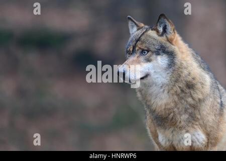 Porträt von eine italienische Wolf, auch bekannt als der Apenninen-Wolf, - Stockfoto