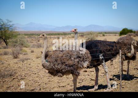 Strauße in der kleinen Karoo in der Nähe von Prinz Albert - Stockfoto