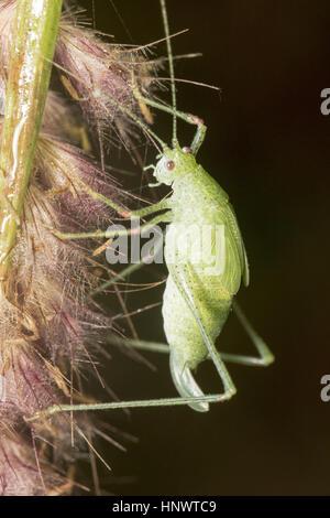 Grasshopper, Barnawapara WLS, Chhattisgarh. - Stockfoto