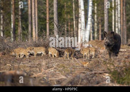 Erwachsenen Wildschwein (Sus Scrofa) mit einer Gruppe von gestreifte Ferkel, stehend im Wald - Stockfoto