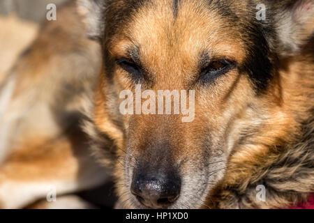 Deutscher Schäferhund Closeup Hund portrait - Stockfoto