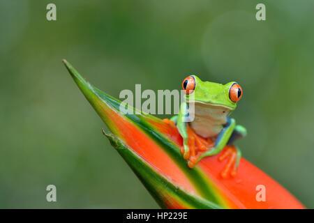 Red-eyed Laubfrosch im Regenwald von Costa Rica - Stockfoto