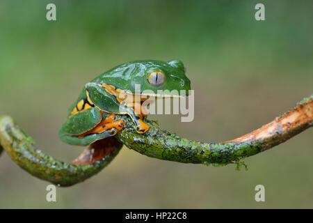Eine seltene herrliche Blatt Frosch im Tieflandregenwald Costa Rica - Stockfoto