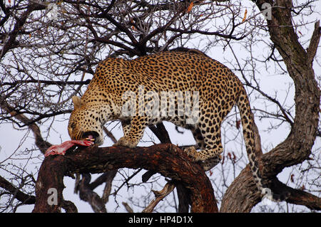 Essen Leopard in Namibia - Stockfoto