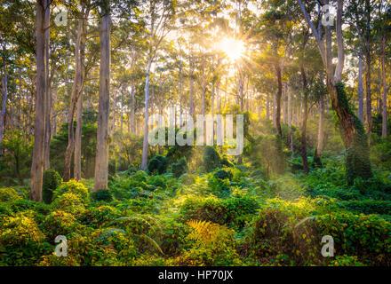 Strahlen der Sonne durch die Bäume im alten Karridale, Western Australia stossen - Stockfoto