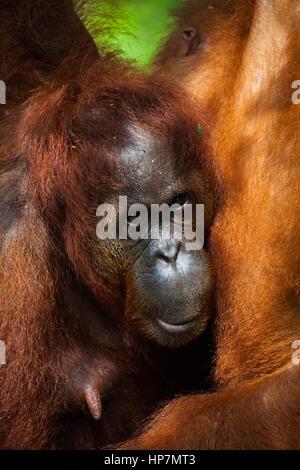 Bornesischen Orang-utan, Pongo pygmaeus, Semenggoh Rehabilitationszentrum, Sarawak, Borneo, Malaysia, von Monika - Stockfoto