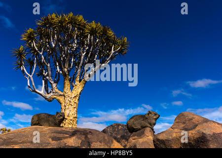 Klippschliefer in Köcher Baum Wald, Keetmanshoop, Namibia - Stockfoto