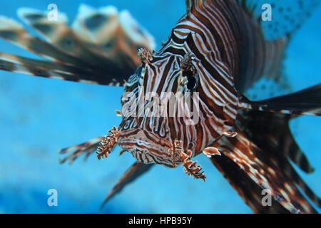 Gemeinsamen Rotfeuerfisch (Pterois Volitans) Unterwasser in den tropischen Gewässern des Roten Meeres - Stockfoto