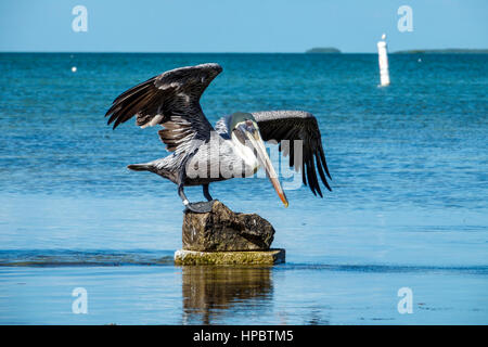 Key Largo Florida Upper Florida Keys Florida Bay Florida Keys Center Zentrum Laura Quinn Wild Bird Sanctuary Zuflucht - Stockfoto