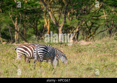 Zebras in der Savanne grasen - Stockfoto