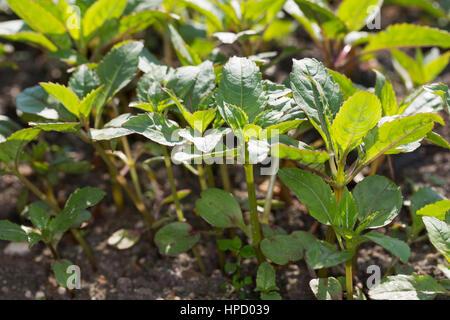 Indisches Springkraut, Drüsiges Springkraut, Blatt, Blätter, Jungpflanze, Impatiens Glandulifera, Drüsige Springkraut des Polizisten Helm