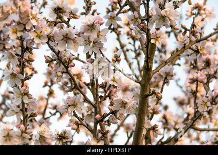 mandelbaum niederlassungen in voller bl te einen hintergrund stockfoto bild 66188160 alamy. Black Bedroom Furniture Sets. Home Design Ideas