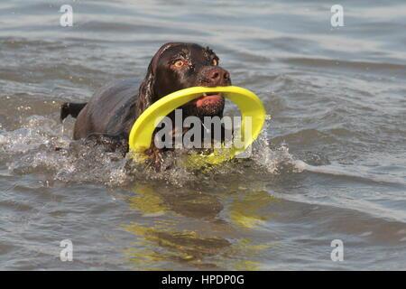 Cocker Spaniel, Schwimmen im Meer - Stockfoto
