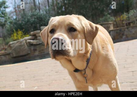 Gelber Labrador Retriever auf Pool-deck - Stockfoto