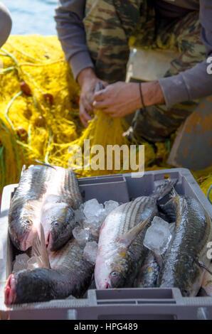 Fischer sammelt frische Fische aus gelben Fischernetze und Dann lege sie in einen Korb, auf Fischerboot, Kreta, - Stockfoto