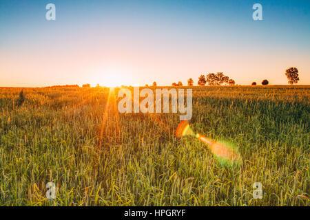 Sonnenuntergang Sonnenaufgang über Naturquelle Weizenfeld. Sonne über grüne Wiese. Landschaft unter Abend- oder - Stockfoto