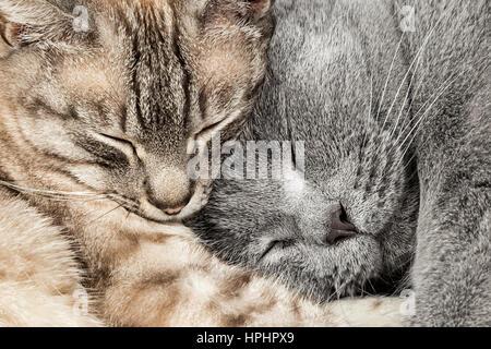 Nahaufnahme von zwei schlafen, kuscheln Katzen zusammen thai Siam und Britisch Kurzhaar Haustier paar - Stockfoto
