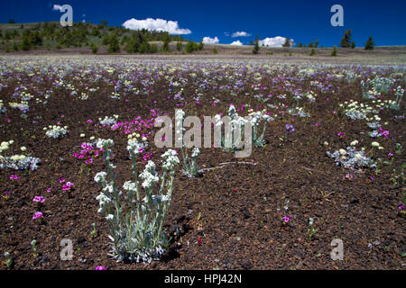 Wildblumenwiese im Krater des Moon National Monument - Stockfoto
