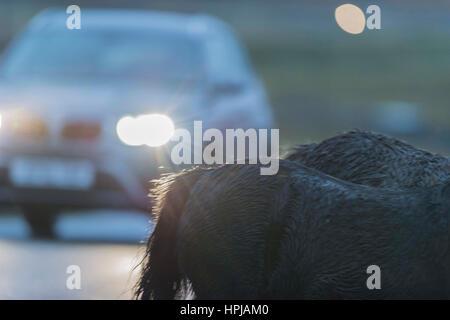 Wales, Vereinigtes Königreich. 16. Oktober 2016.   Ein Pferd mit No Name: zwei Welsh Mountain Ponys überqueren der - Stockfoto