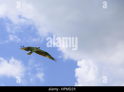 Fort Myers Beach, USA - 11. Mai 2015: Ein Fischadler fliegen mit weit verbreiteten Flügel von unten gesehen. - Stockfoto